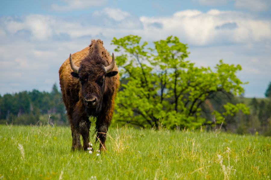 Bison at Wind Cave Natl. Park by Rachata Ausavarungnirun on 500px.com