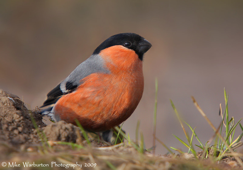 Photograph Bullfinch by Mike Warburton on 500px