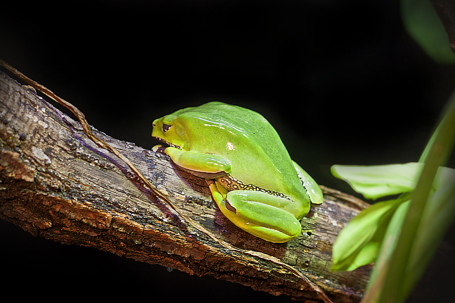 Photograph Frog by Mohaned Elahwal on 500px