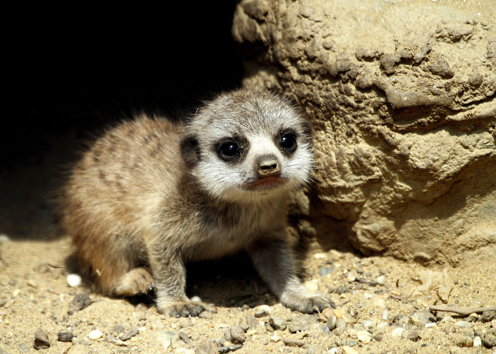 Photograph Baby meerkat is coming out of the family cave by Rainer Leiss on 500px