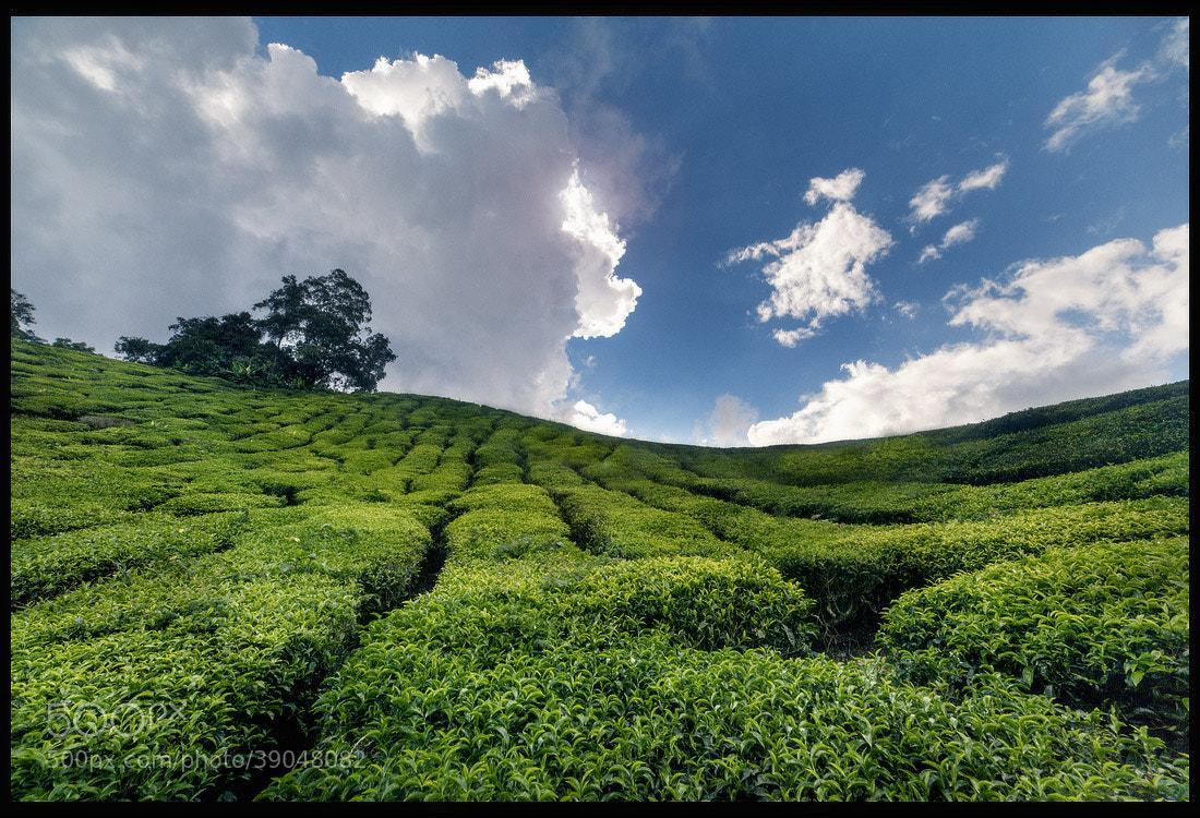 Photograph Tea plantations by Viktor Derkach on 500px