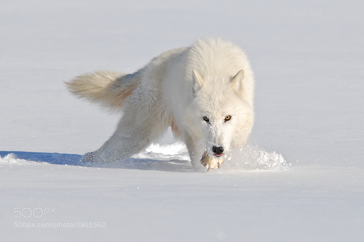 Photograph Arctic Wolf eyes on me by Mike  Lentz on 500px