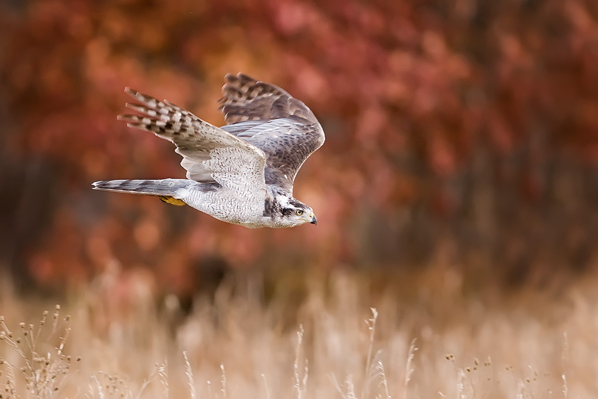 Photograph Northern Goshawk fall flight by Mike  Lentz on 500px