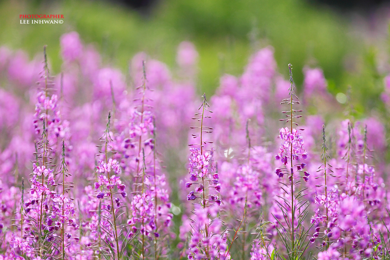 Photograph Group of Fireweed by LEE INHWAN on 500px