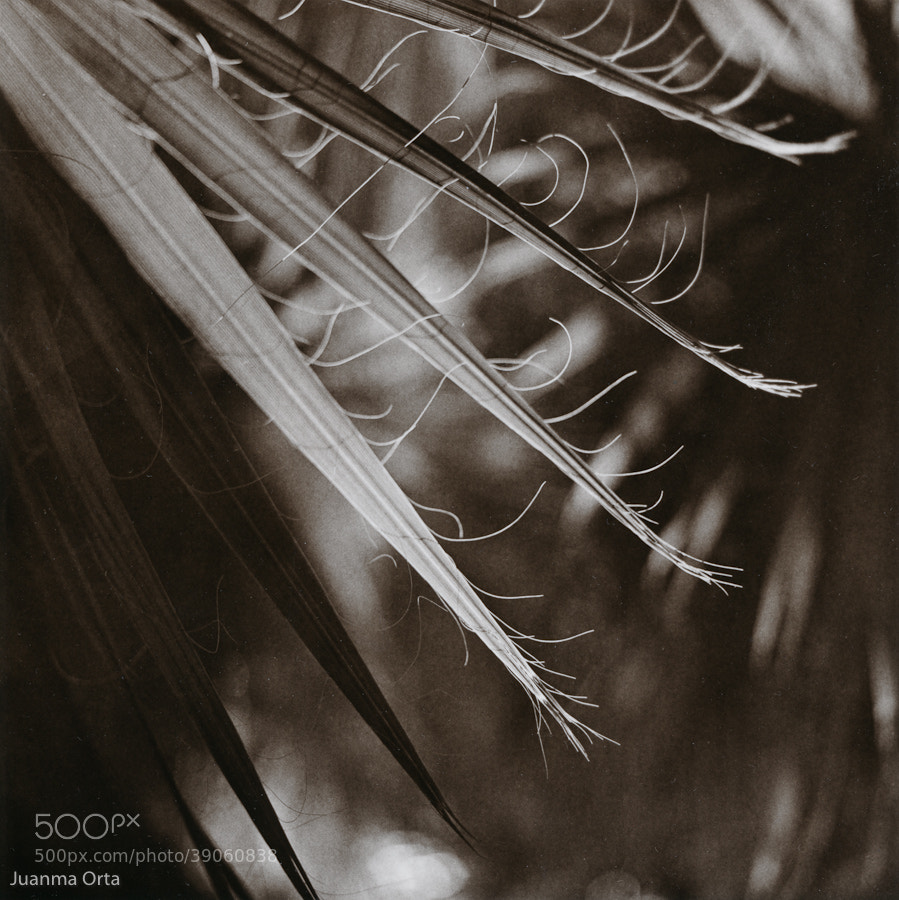 Photograph Palm leaves by Juanma Orta on 500px
