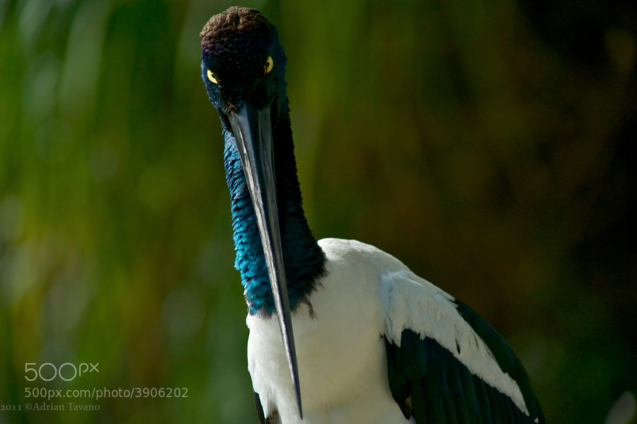 An amazing bird and very endangered too, Black-necked stork. Females are easily distinguishable by their yellow eyes.