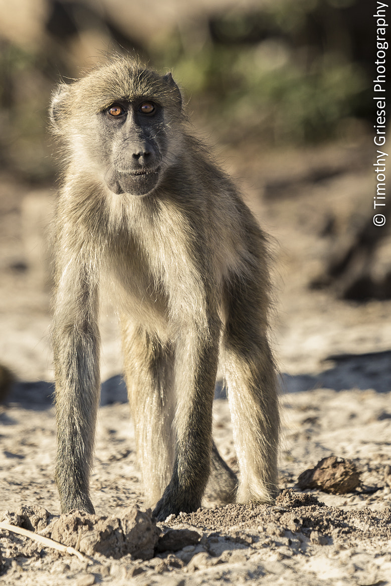 Photograph Baboon Stare by Timothy Griesel on 500px