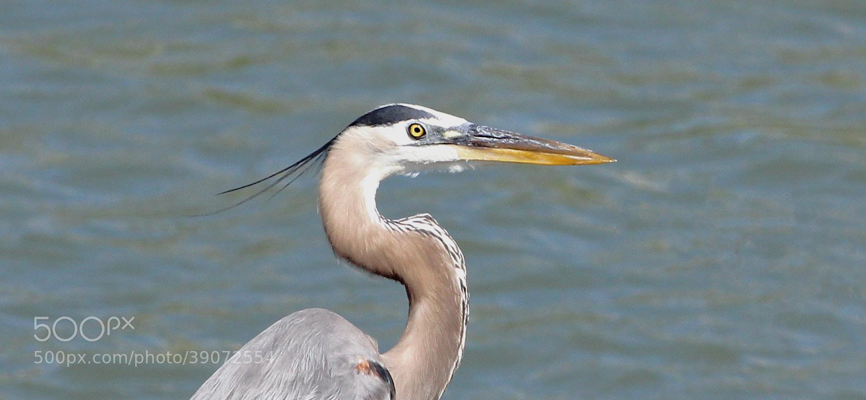 Photograph Great Blue Heron by Jason McSpadden on 500px