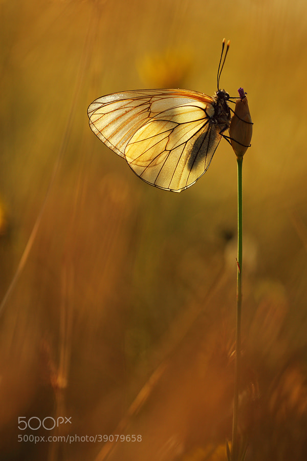 Photograph Aporia crataegi by Christian Rey on 500px