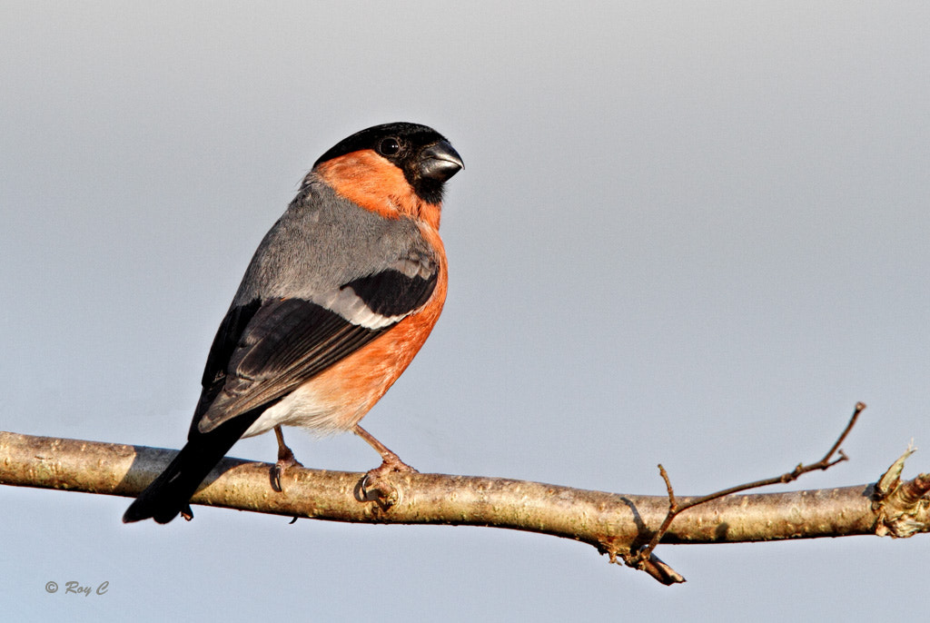 Photograph Bullfinch by Roy Churchill on 500px