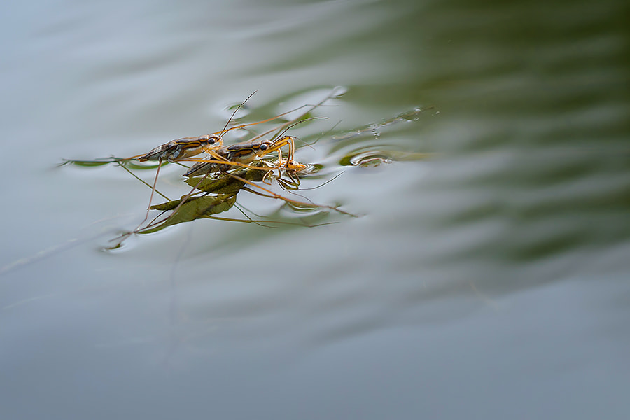 Photograph Water Striders  by  Hendy Mp on 500px