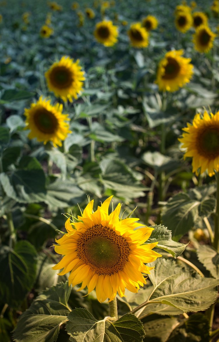 Photograph Sunflowers by JKGR  on 500px