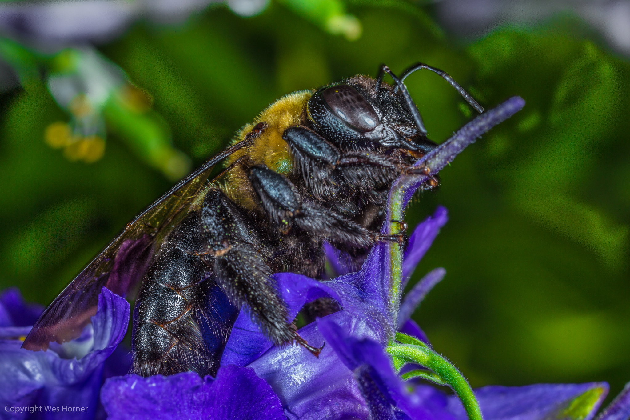 Photograph Eastern Carpenter Bee by Wes Horner on 500px