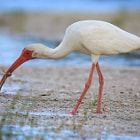 A white ibis eating sand crabs, whole, and alive.  Gulp!