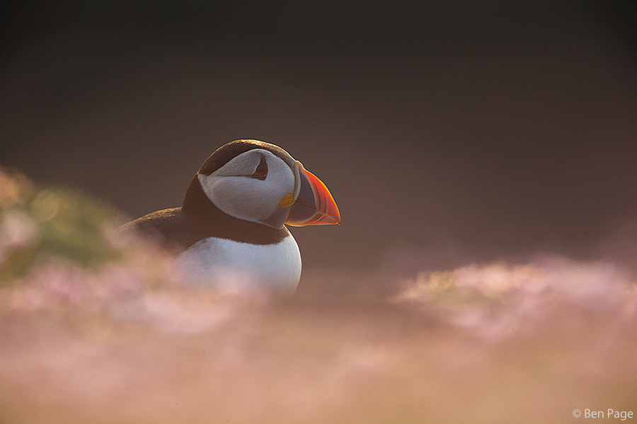 Photograph Puffin by Ben Page on 500px