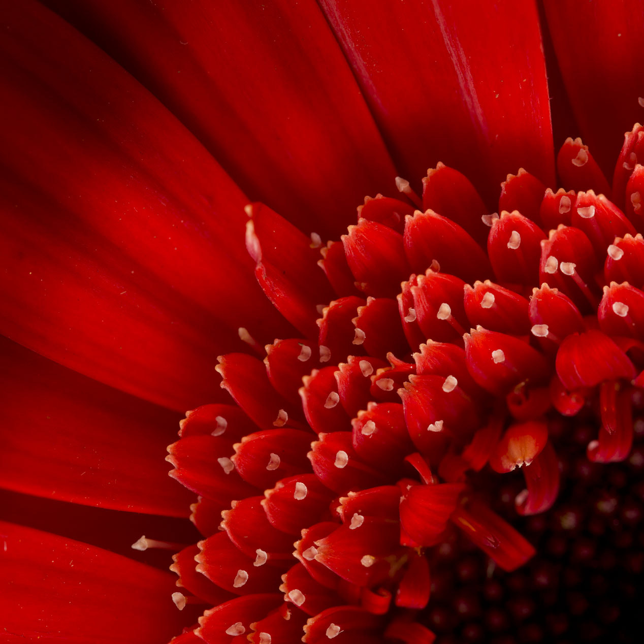 Photograph Quarter of a Gerbera by Dennis Hellmich on 500px
