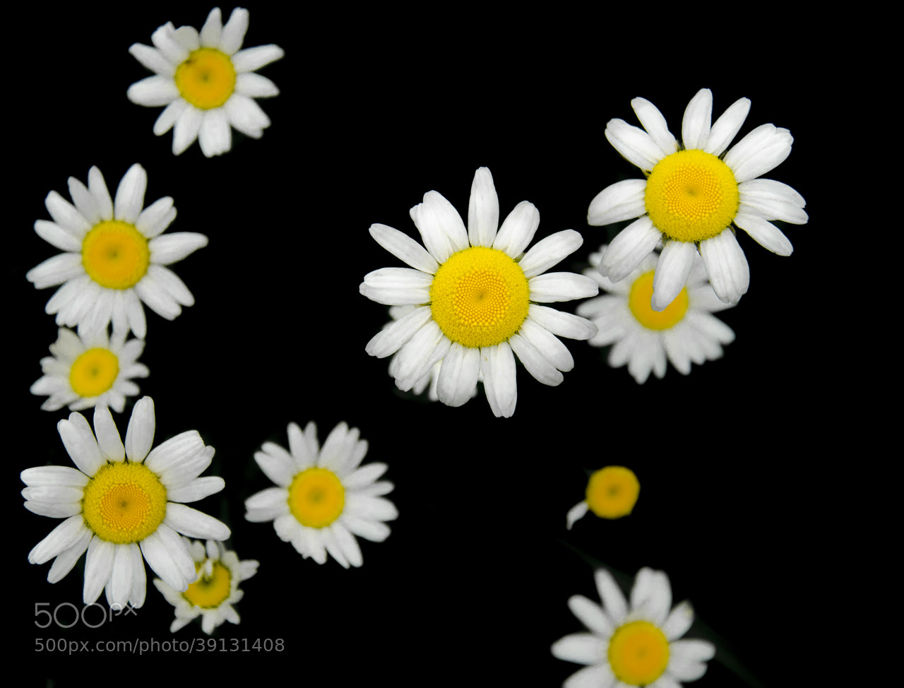 Photograph Star Flowers by Rusty Parkhurst on 500px