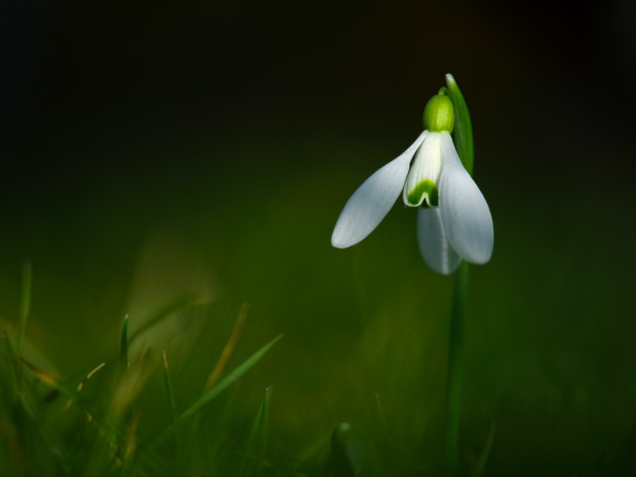snowdrop by Zsolt Goór on 500px.com