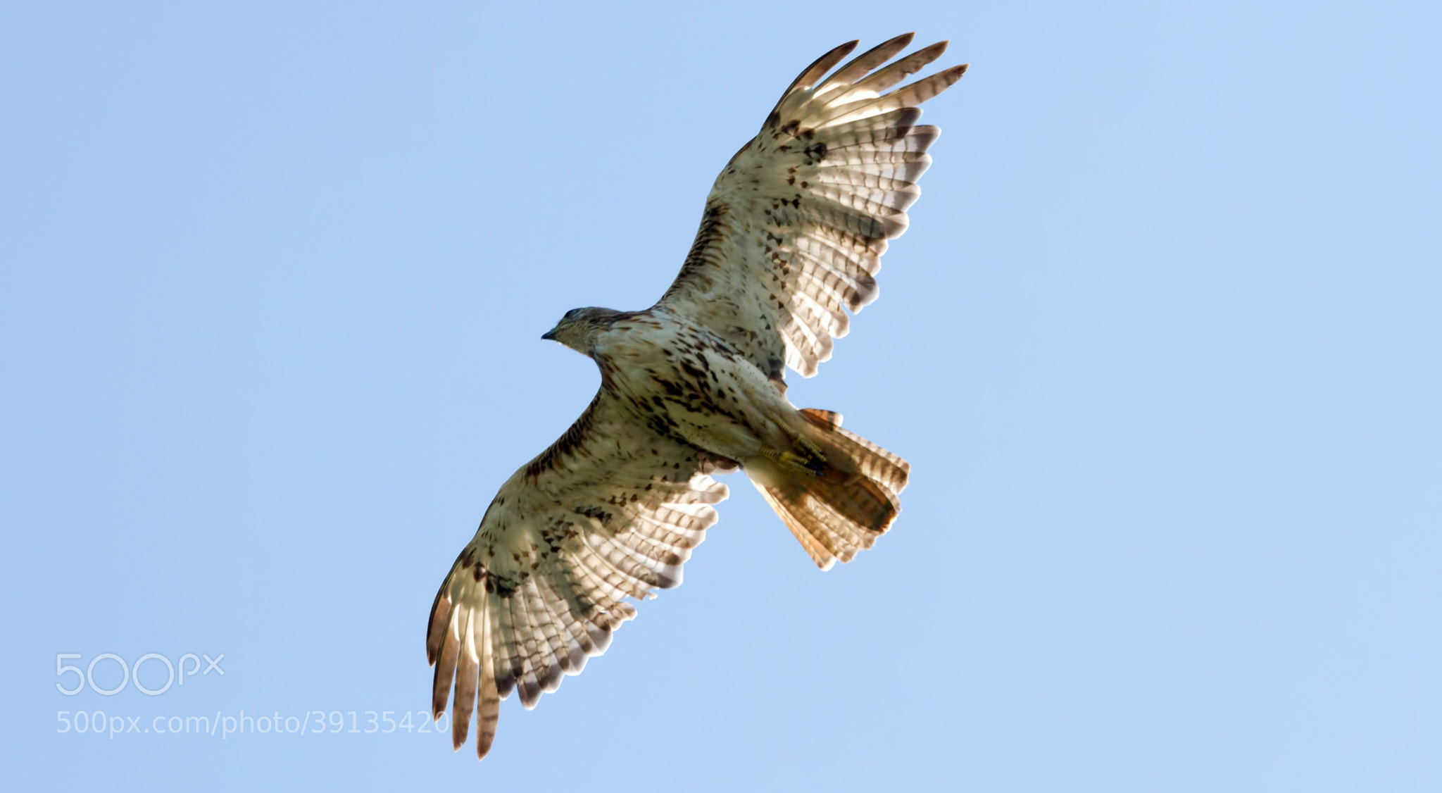 Photograph Red-tailed Hawk #7 by Scott Dodgson on 500px