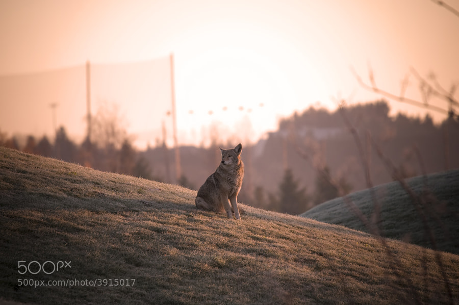 I came across this coyote just as the sun was rising, he seemed to lost in his own world waiting for something/someone, it wasn't me