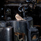 A sparrow posing on an iron train coupler.