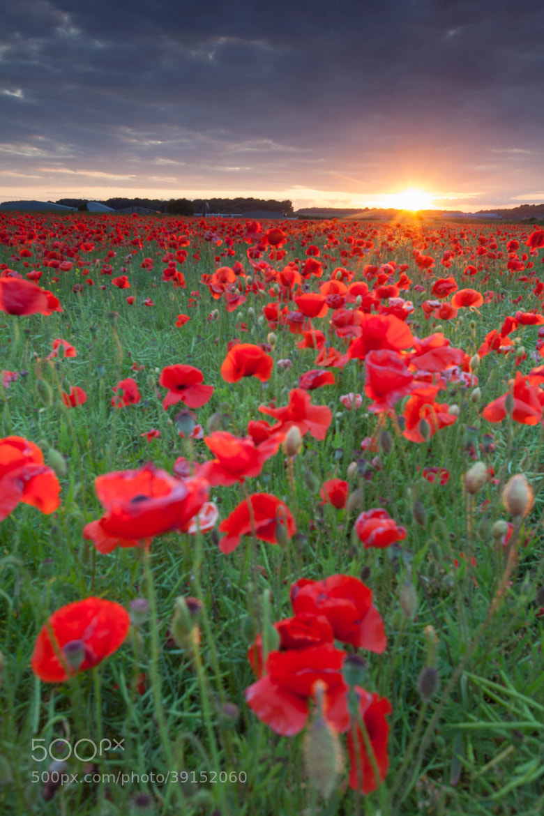 Photograph Poppies by Carl Mickleburgh on 500px