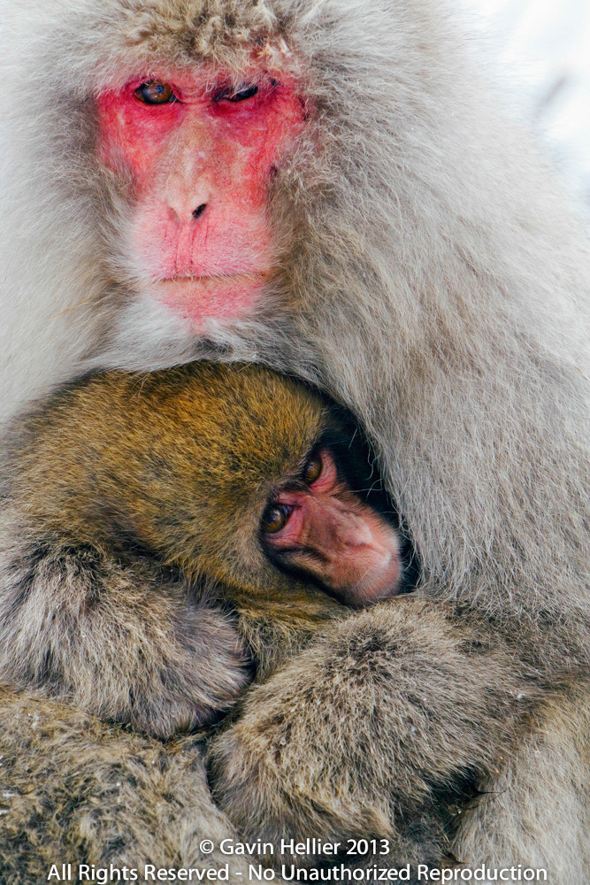 Photograph Japanese macaque (Macaca fuscata) / Snow monkey, mother and baby  by Gavin Hellier on 500px