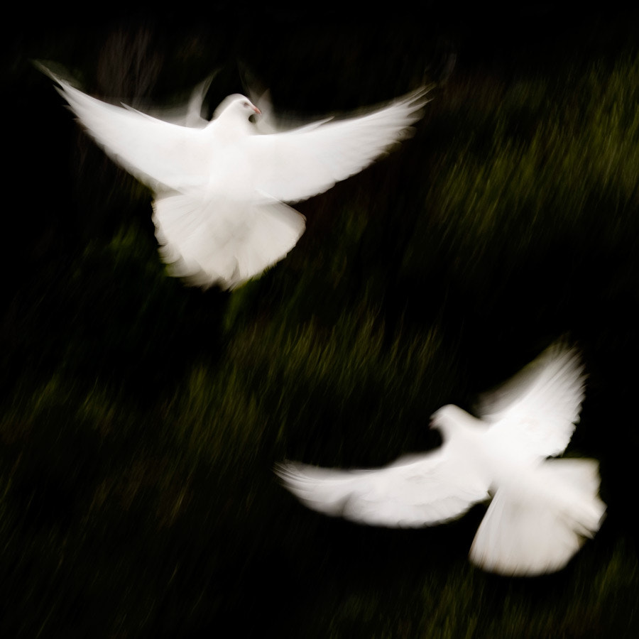 Photograph Doves by Ollie Dale on 500px