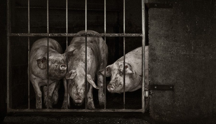 Photograph Pigs by Ollie Dale on 500px