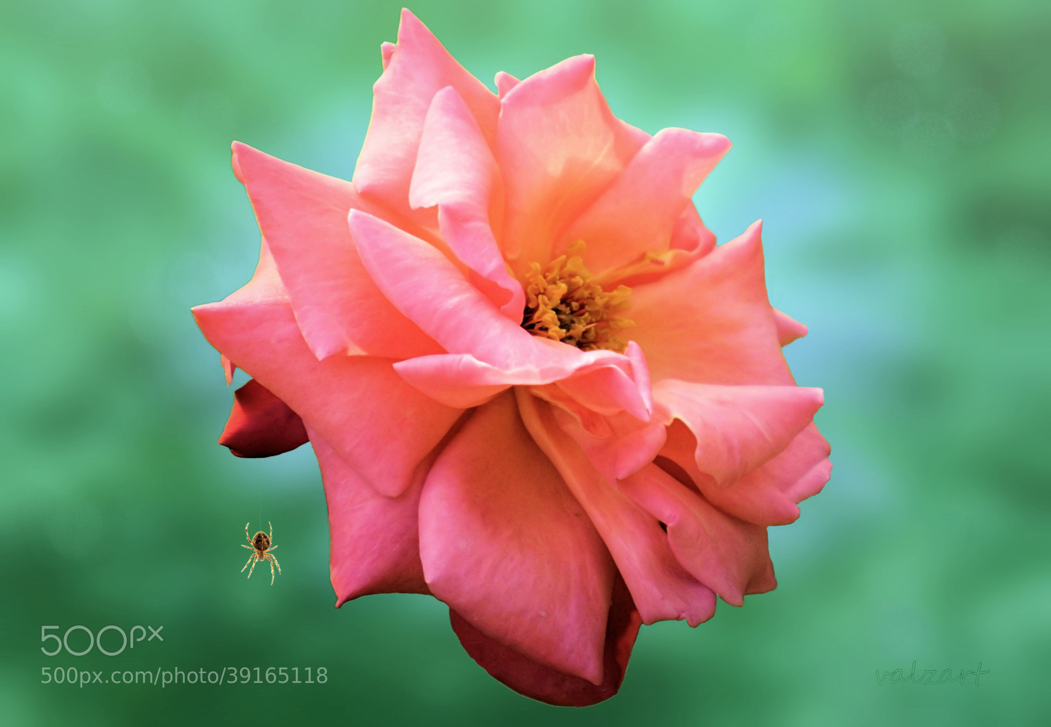Photograph The spider and the rose by Valerie Anne Kelly on 500px