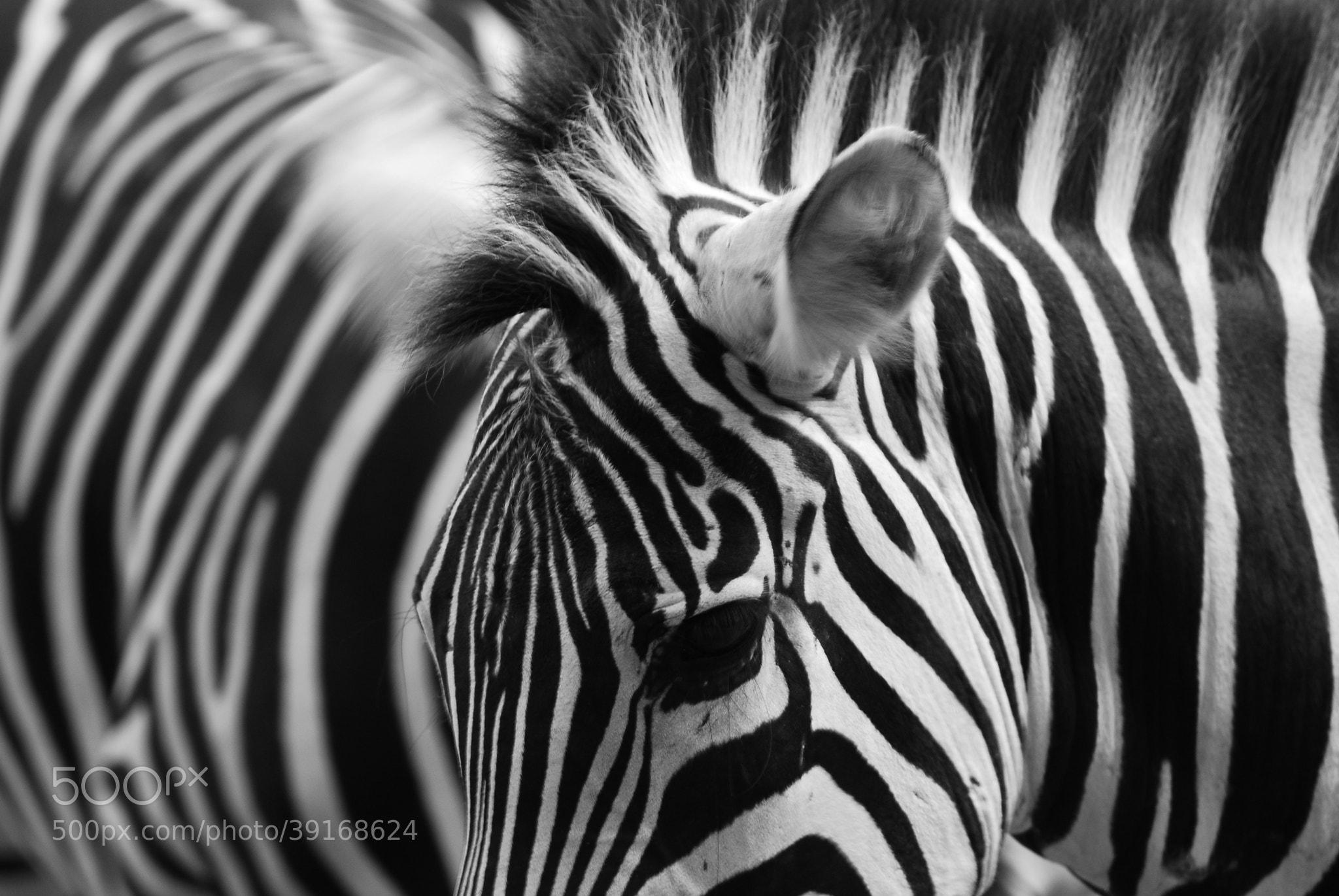 Photograph Zebra by Heshan  de Mel on 500px