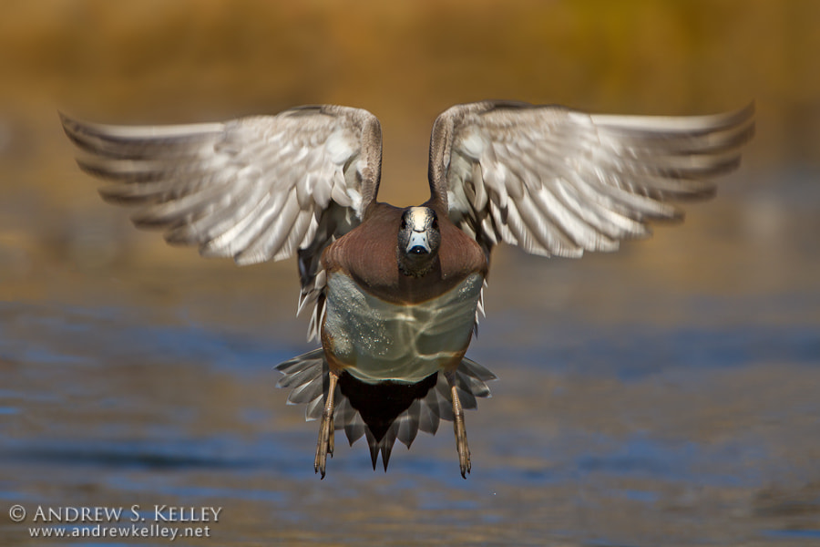 Photograph Wigeon in Flight by Andrew Kelley on 500px