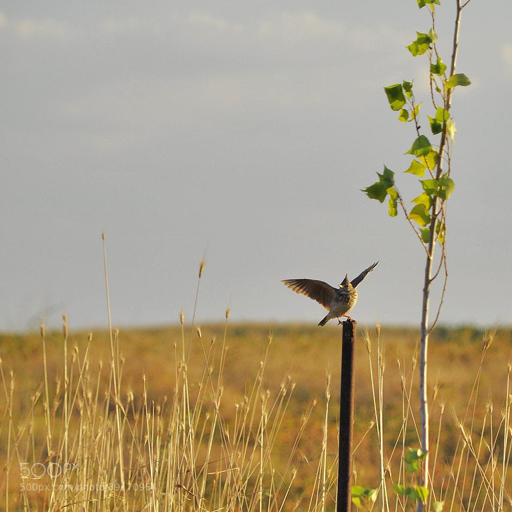 Photograph Skylark (Alauda arvensis) by Otabek Yuldashev on 500px