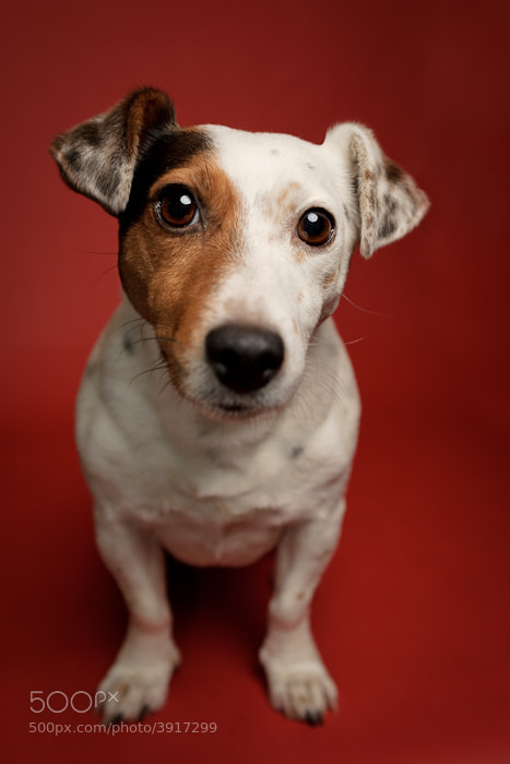 Photograph Thimble the Jack Russell by Yvonne White on 500px