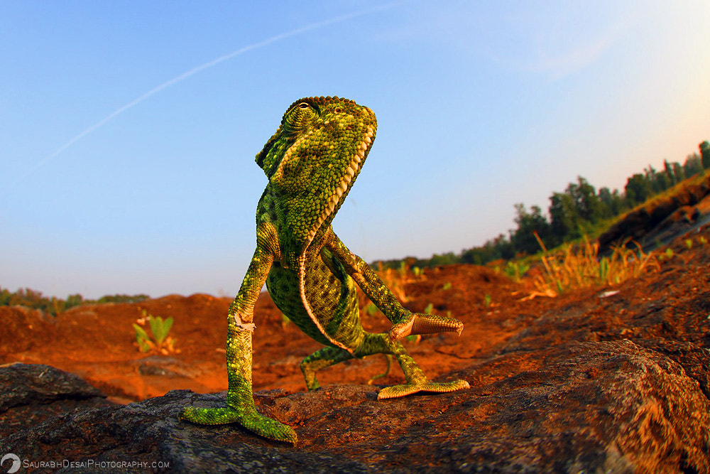 Photograph Indian Chameleon Wide Angle Perspective by Saurabh Desai on 500px
