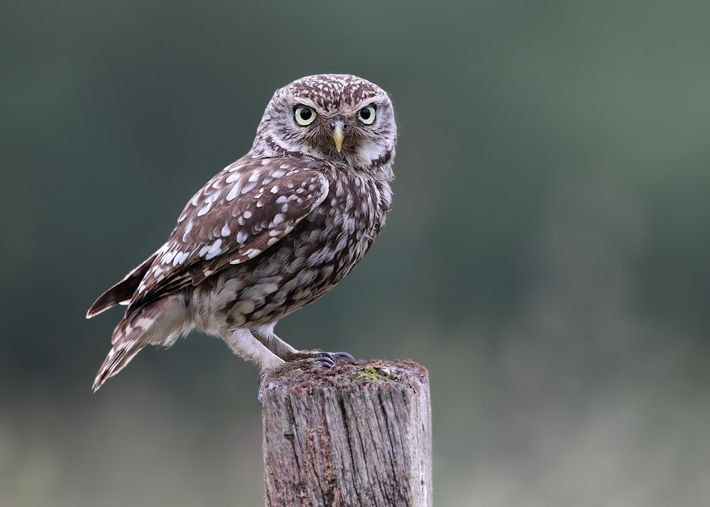 Photograph Little Owll by Karen Summers on 500px