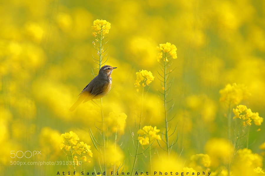 Photograph In yellow.. by Atif Saeed on 500px