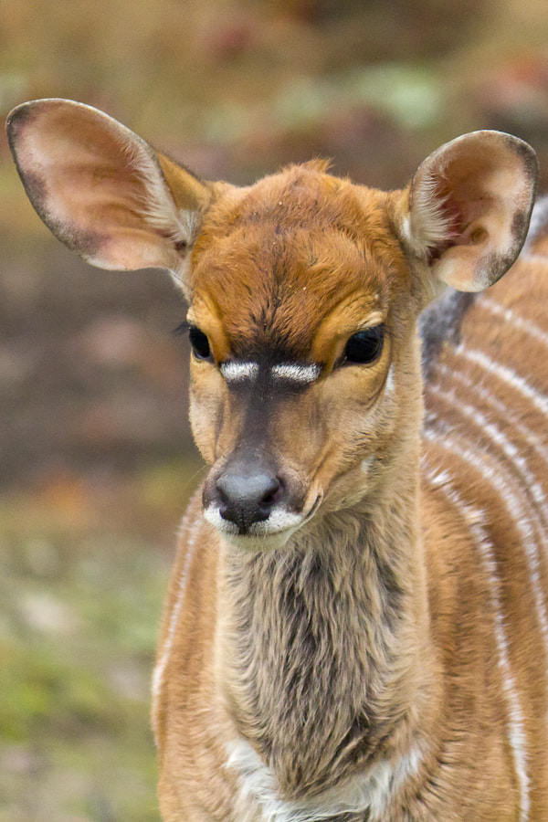 Photograph Nyala by Mladen Janjetovic on 500px