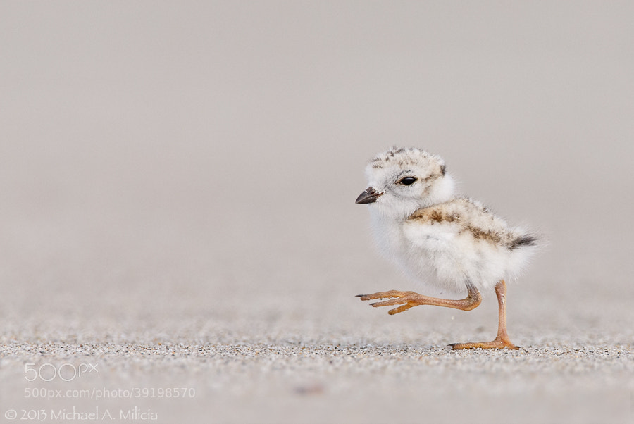 Photograph Piping Plover Chick : Massachusetts Coast by Michael Milicia on 500px