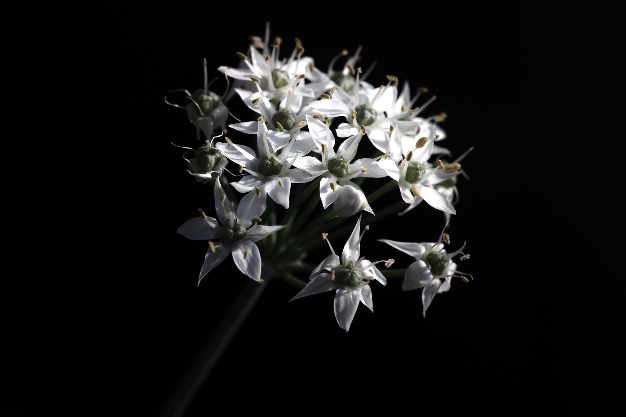 Photograph Wild Onion by halfrain X3 on 500px