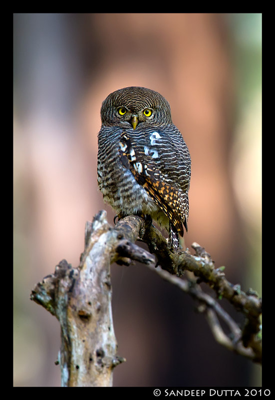 Photograph Jungle Owlet by Sandeep Dutta on 500px