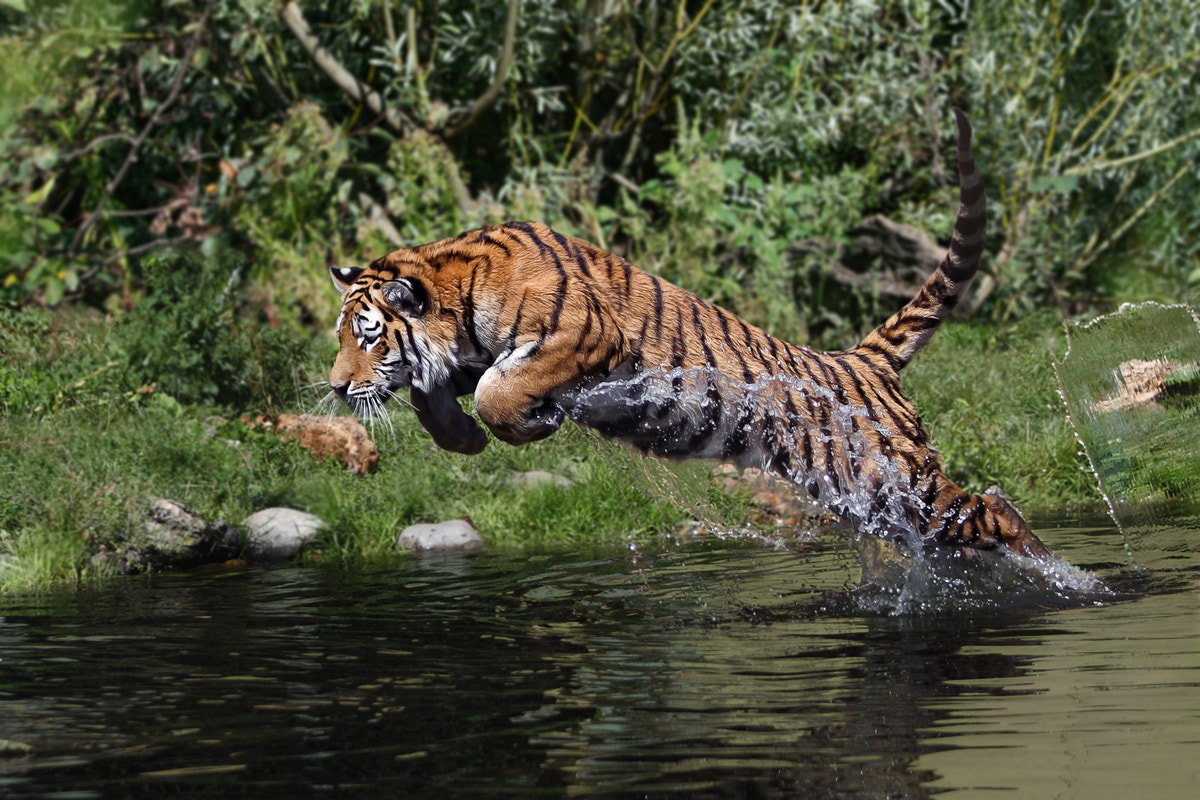 Photograph Tiger attack by Helmut Lager on 500px