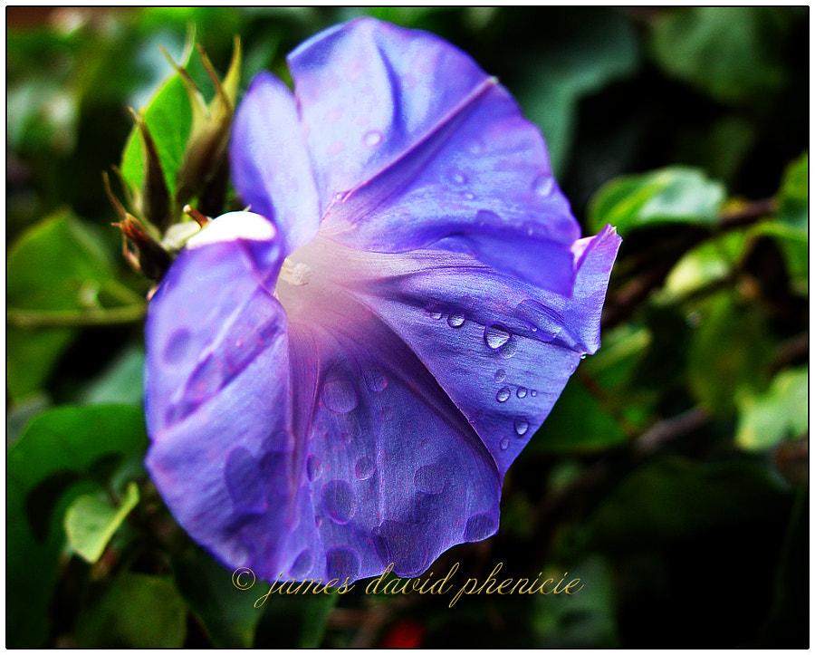 Flower Series:  Morning Glory
