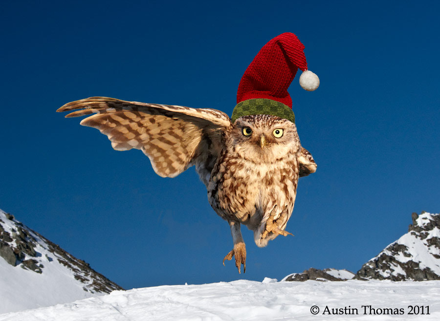 Photograph Christmas Owl... by Austin Thomas on 500px