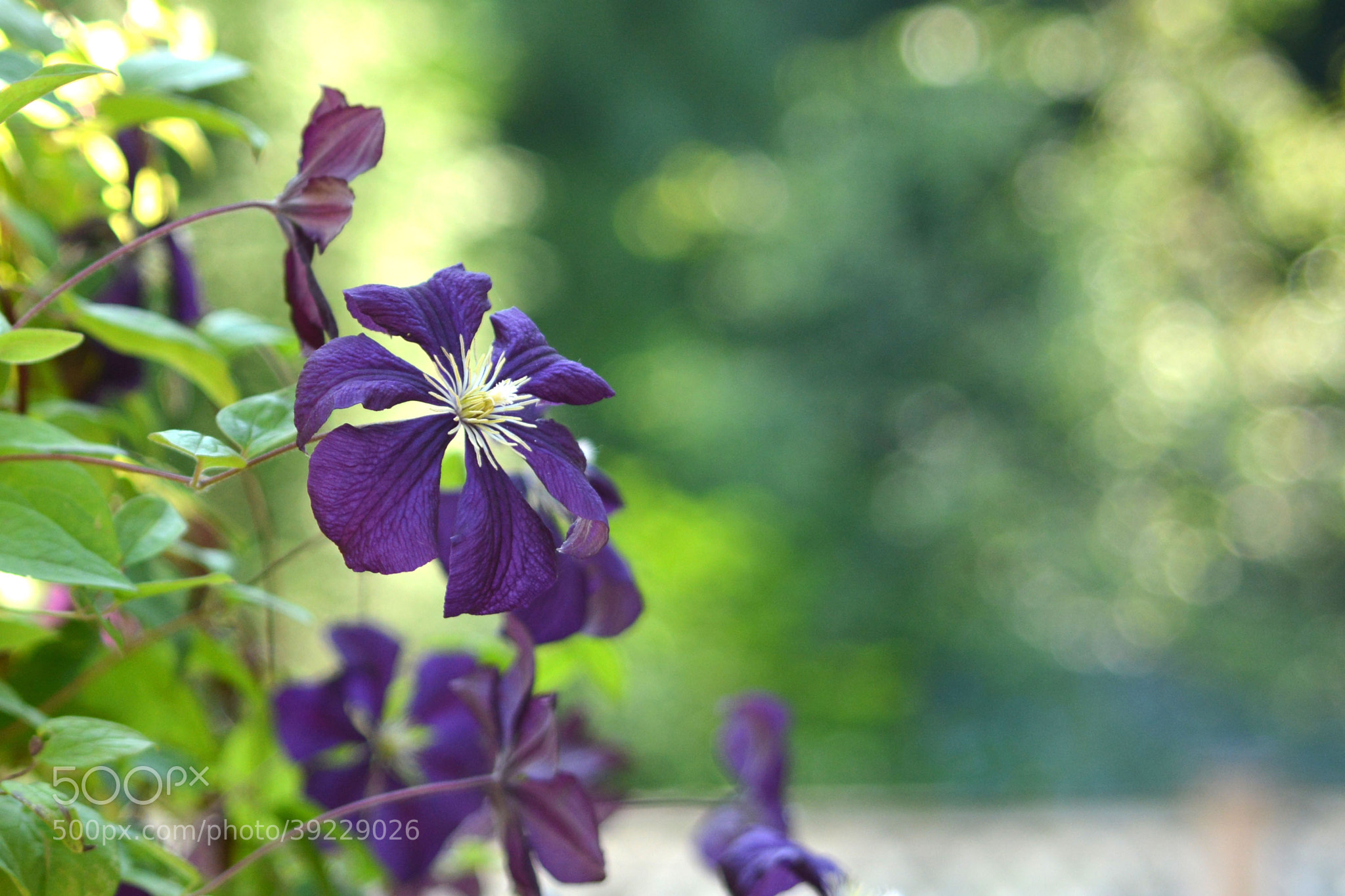 Photograph Clematis by Eng Yap on 500px