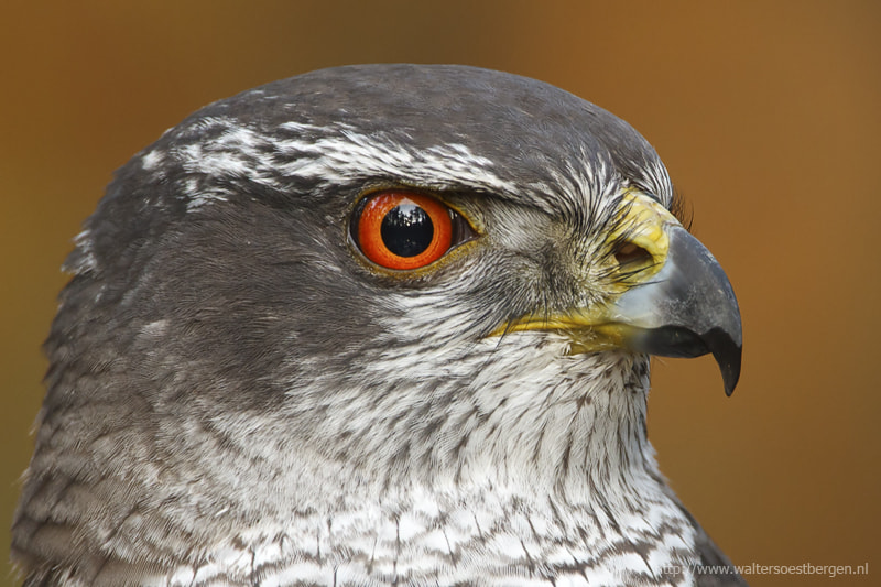 Photograph Goshawk portret by Walter Soestbergen on 500px