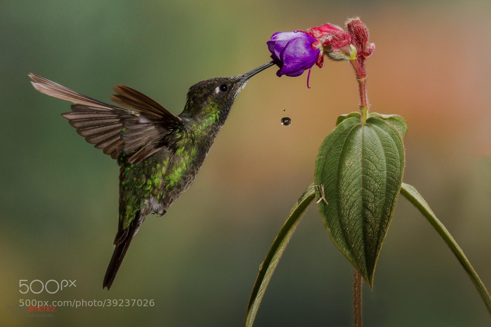 Photograph Magnificent Hummingbird by Chris Jimenez on 500px