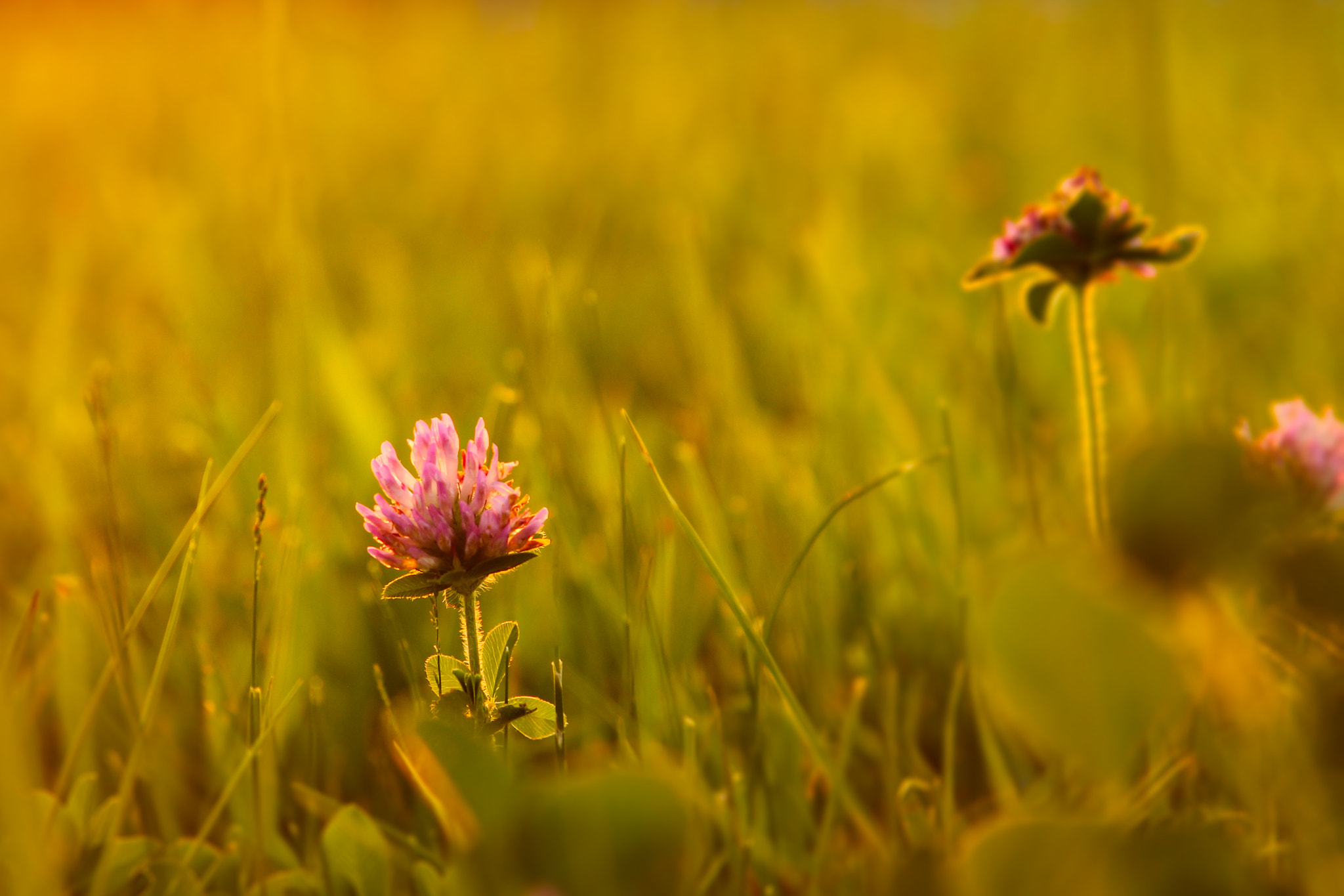 Photograph Clover In Evening Glow by Andy Operchuck on 500px