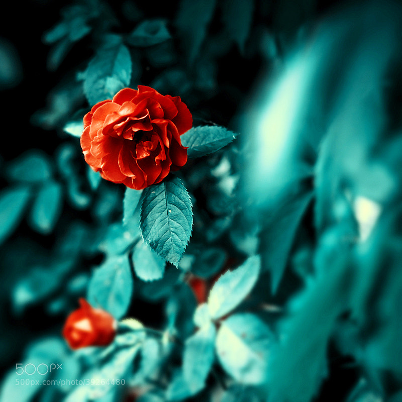 Photograph rose by Barbara Florczyk on 500px