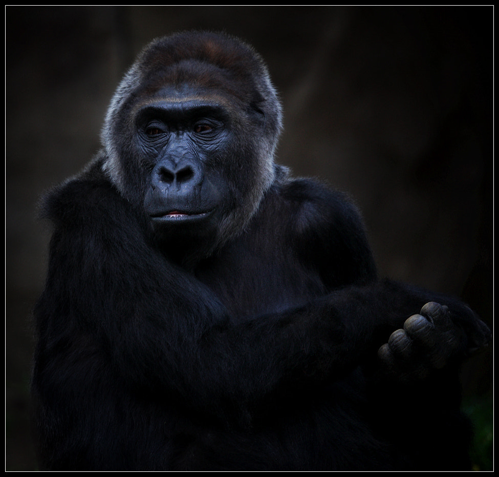 Photograph Portrait of a Gorilla by Dwayne Andrejczuk on 500px